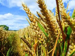 Genetically-enhanced corn